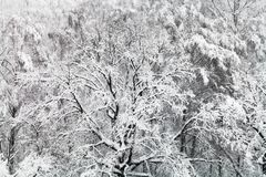 roble nevado en nevadas en bosque Imágenes de archivo libres de regalías
