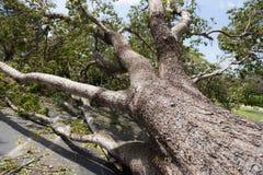 Roble tragado Irma del huracán imagen de archivo libre de regalías