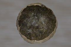 Roble vacío Gall Shell Fotos de archivo
