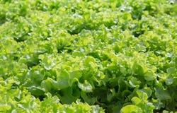 Roble verde en la granja orgánica en Tailandia fotos de archivo