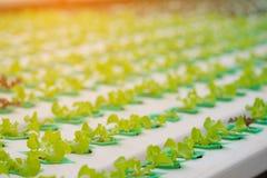 Roble verde, iceberg del frillice, verdura verde hidropónica del cultivo Fotos de archivo