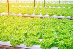 Roble verde, iceberg del frillice, verdura verde hidropónica del cultivo Imagenes de archivo