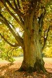 Roble viejo en el jardín del tiempo de caída Imagen de archivo