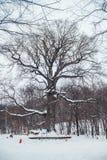 Roble viejo en la edad de 585 años que se colocan en el bosque en invierno Foto de archivo