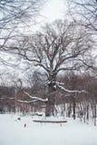 Roble viejo en la edad de 585 años que se colocan en el bosque en invierno Imagen de archivo libre de regalías