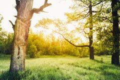 Roble viejo en la puesta del sol en el verano Sunny Forest Nature Green Wood Fotografía de archivo