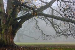 Roble viejo en niebla Foto de archivo libre de regalías
