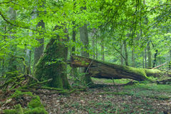 Roble viejo grande y madera muerta Fotografía de archivo libre de regalías