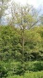 Roble viejo mismo en tiempo de primavera debido del sur de Alemania fotografía de archivo
