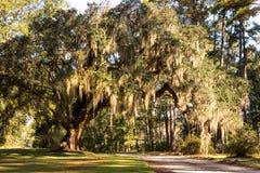 Roble vivo meridional Fotos de archivo libres de regalías