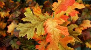 Roble y hojas de arce vibrantes, coloridos fondo, textura de la caída del otoño Imagen de archivo