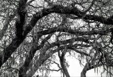 Robles con el musgo en ramas Fotografía de archivo