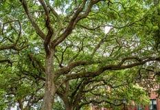 Robles con el musgo español en Savannah Park Foto de archivo