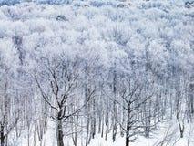 Robles cubiertos por la nieve por mañana del invierno Fotos de archivo