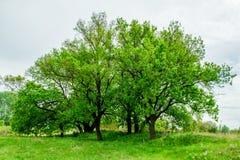 Robles hermosos, verdes, jovenes en una reserva de naturaleza en el terreno de aluvión del río Volga Fotografía de archivo