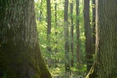 Robles viejos en bosque imagen de archivo