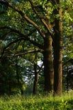 Robles viejos en parque Fotos de archivo libres de regalías