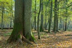 Muy viejo soporte de hojas caducas en otoño Imágenes de archivo libres de regalías
