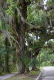 Robles viejos a lo largo de un camino en la Florida Imagen de archivo
