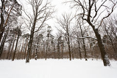 Robles y árboles de pino nevados en el borde del bosque Foto de archivo