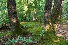 Robles y tiempo de primavera cubierto de musgo del piso del bosque en Medvednica imagenes de archivo