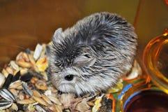 Roborovski仓鼠-最小和快速地 库存照片