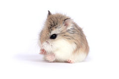 Roborovski hamster. Dwarf Roborovski (Phodopus Roborovskii) hamster isolated on white background Stock Photo