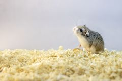 Roborovski hamster in wood shavings or flakes. With solid gray background stock photos