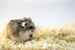 Roborovski hamster in wood shavings or flakes