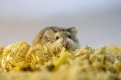 Roborovski hamster in wood shavings or flakes. With solid gray background royalty free stock images