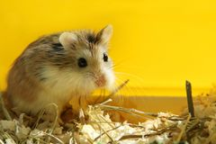 Roborovski hamster cute pet looking - yellow background royalty free stock photography