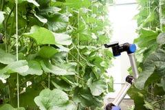 Robot astuto nel concetto di agricoltura, automazione degli agricoltori del robot Immagini Stock Libere da Diritti