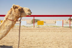 Robot camel racing Stock Photos