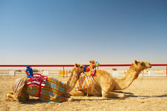 Robot camel racing Royalty Free Stock Images