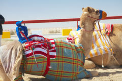 Robot camel racing Stock Photography