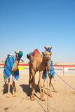 Robot camel racing Stock Images