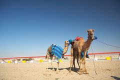 Robot camel racing Stock Photo