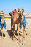 Robot controlled camel racing Royalty Free Stock Images