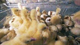 Robotnicy rolni biorą kaczątka z pudełka z eggshells 4K zbiory