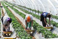 robotnicy rolni podnoszą truskawki i pakują zdjęcie stock