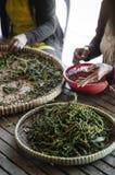 Robotnicy rolni sortuje świeżych pieprzowych peppercorns w kampot Cambodia zdjęcia stock