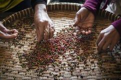 Robotnicy rolni sortuje świeżych pieprzowych peppercorns w kampot Cambodia zdjęcia royalty free