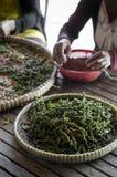 Robotnicy rolni sortuje świeżych pieprzowych peppercorns w kampot Cambodia zdjęcie stock