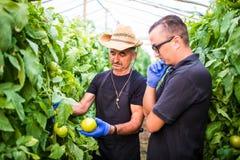 Robotnicy rolni sprawdza pomidoru w szklarni i podnosi zdjęcia royalty free