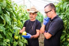 Robotnicy rolni sprawdza pomidoru w szklarni i podnosi obrazy stock