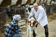 Robotnicy rolni z młodym bydłem w cowhouse Zdjęcie Stock