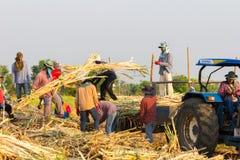 Robotnicy rolni zbiera sugarbeet obraz stock