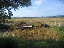 Robotników rolnych tnący ryż zdjęcia royalty free