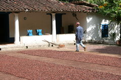 robotnik rolny kakaowy Obrazy Stock