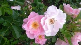 Robusra玫瑰 免版税库存照片